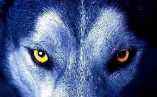 成大器|狼性思维能成大器的男人,都有这五种可怕的像狼一样;傲骨铮铮
